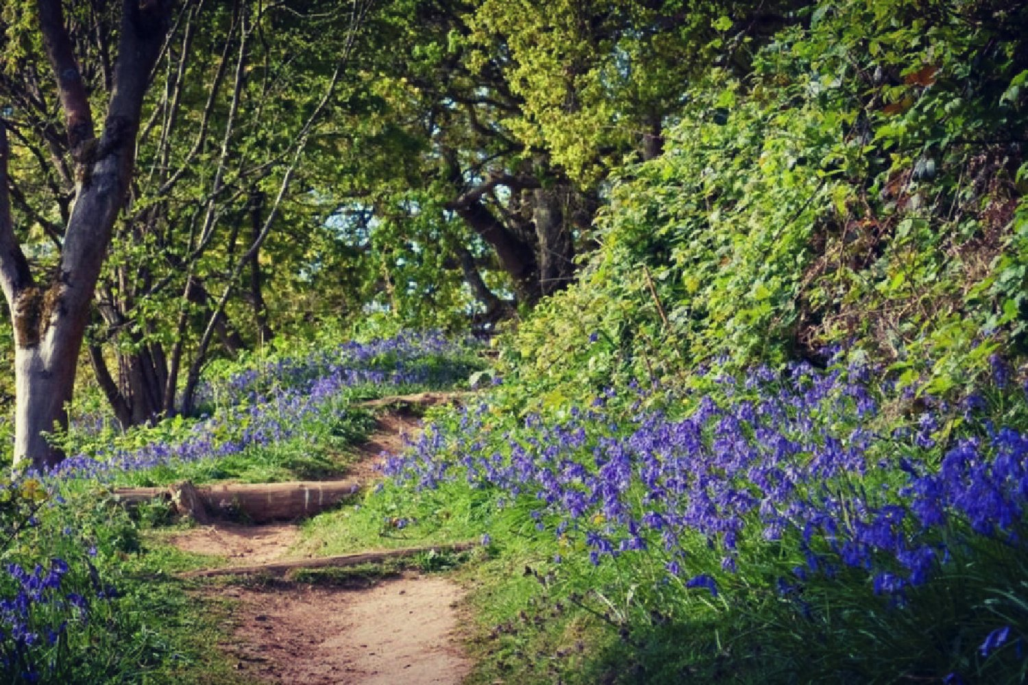 7 GREAT PLACES TO SEE BLUEBELLS THIS SPRING…